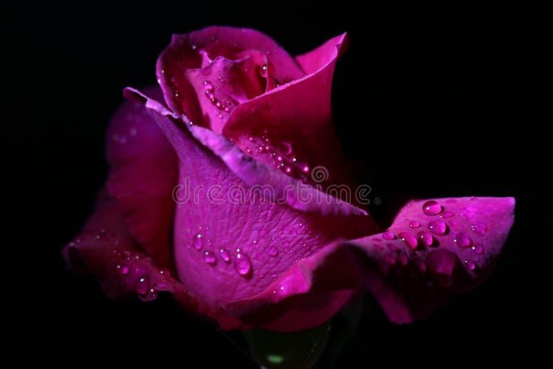 Tè Rosa rosa con le goccioline immagini stock libere da diritti
