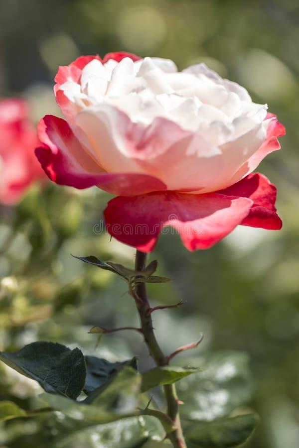 Tè Rosa ibrido di doppia delizia immagine stock