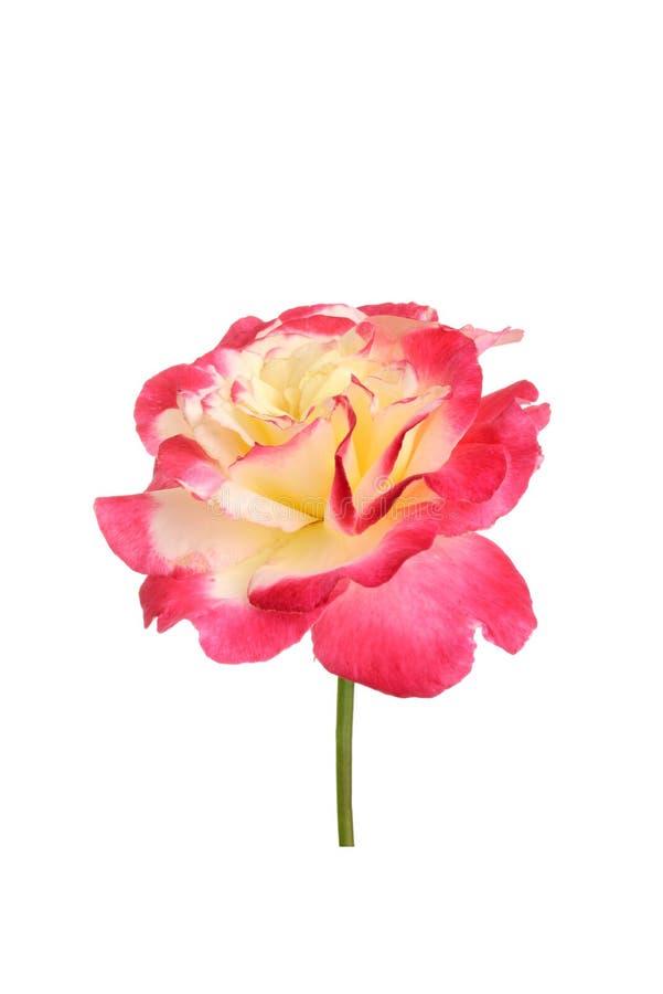 Tè Rosa ibrido isolato di doppia delizia fotografia stock