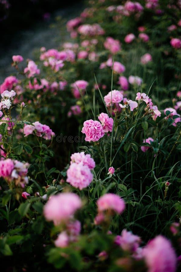 Tè Rose Field fotografie stock