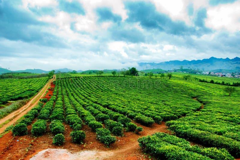 Té verde fresco de la belleza en el hightland de Moc Chau foto de archivo
