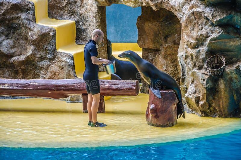 TÉNÉRIFE, ESPAGNE - DÉCEMBRE 2012 : Équipez le joint de fourrure de alimentation dans Loro Parque le 6 décembre 2012 image stock