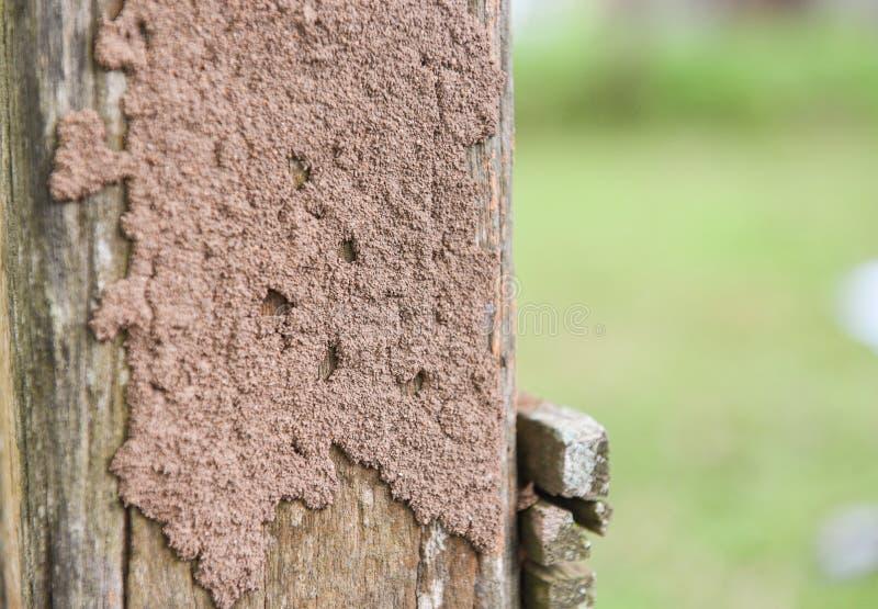 Térmitas no coto - ninho da térmita em um cargo de madeira danificado pelo animal do inseto fotos de stock royalty free