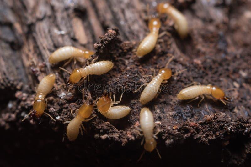 térmitas ou formigas brancas imagem de stock