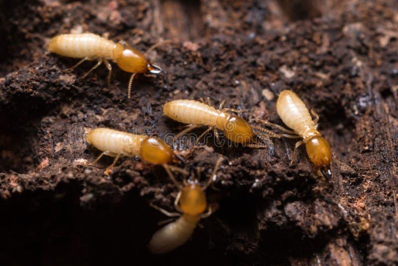 térmitas ou formigas brancas foto de stock