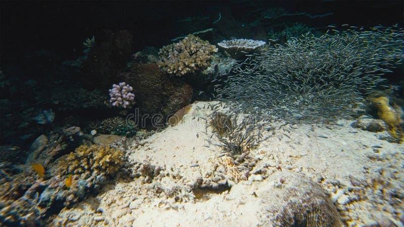Tétra penguinfish de blackline de boehlkei de Thayeria d'essaim de pingouin sous-marins images libres de droits