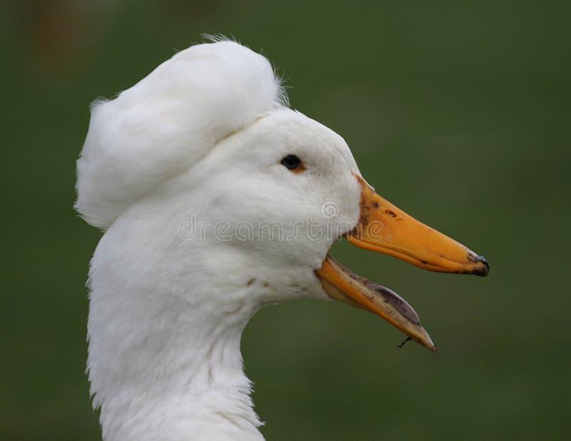 Tête blanche de canard images libres de droits