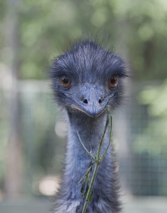 Tête bleue d'autruche dans le zoo privé de la Finlande image libre de droits
