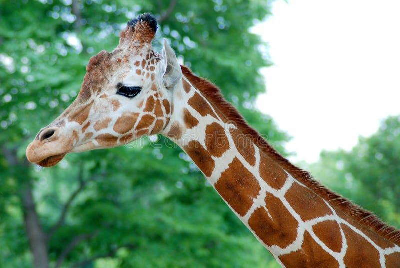 Tête-cou de girafe photographie stock