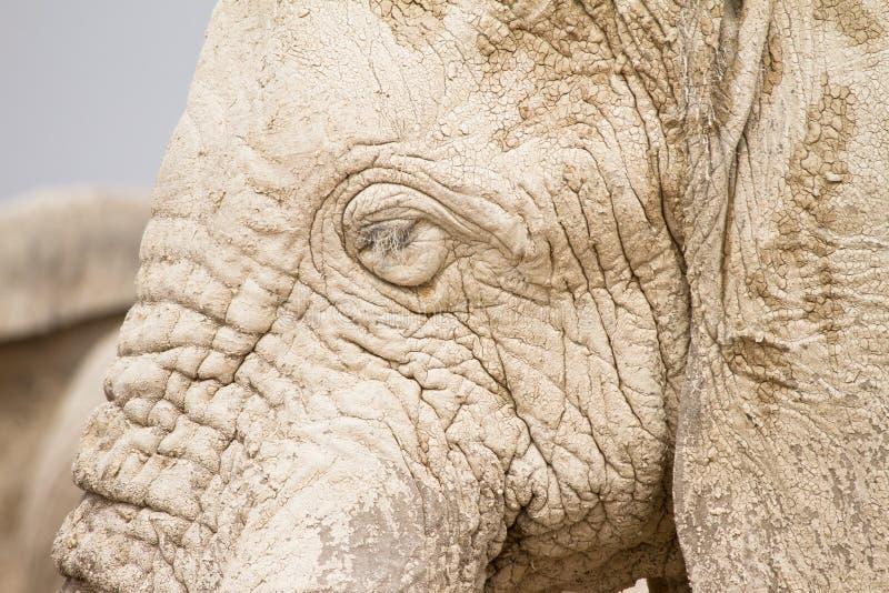 Tête d'éléphant photos stock