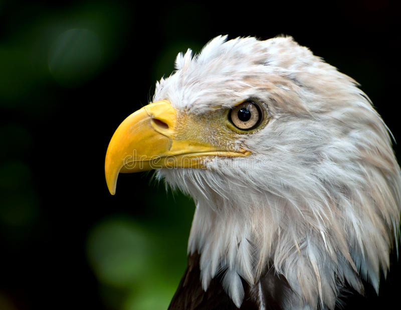 Tête d'aigle chauve photo libre de droits