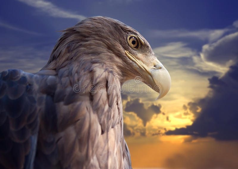 Tête d'aigle contre le coucher du soleil photos libres de droits