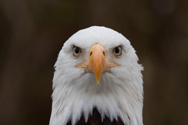 Tête d'aigle de poissons photographie stock