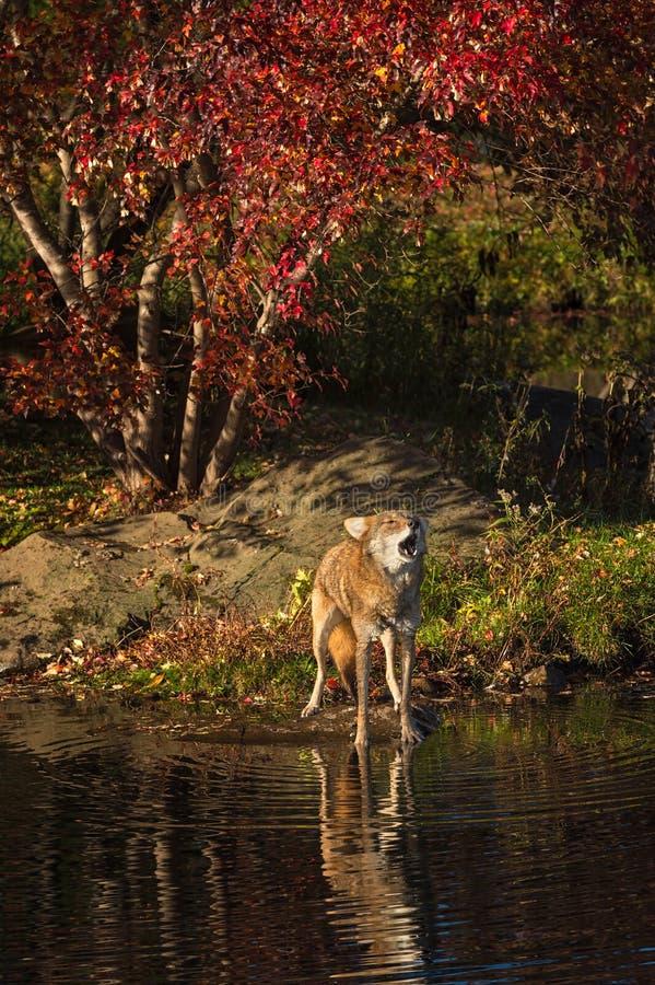 Tête d'ascenseurs de latrans de Canis de coyote à hurler image libre de droits