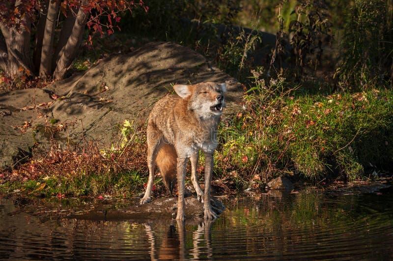 Tête d'augmenter de latrans de Canis de coyote à hurler photo libre de droits