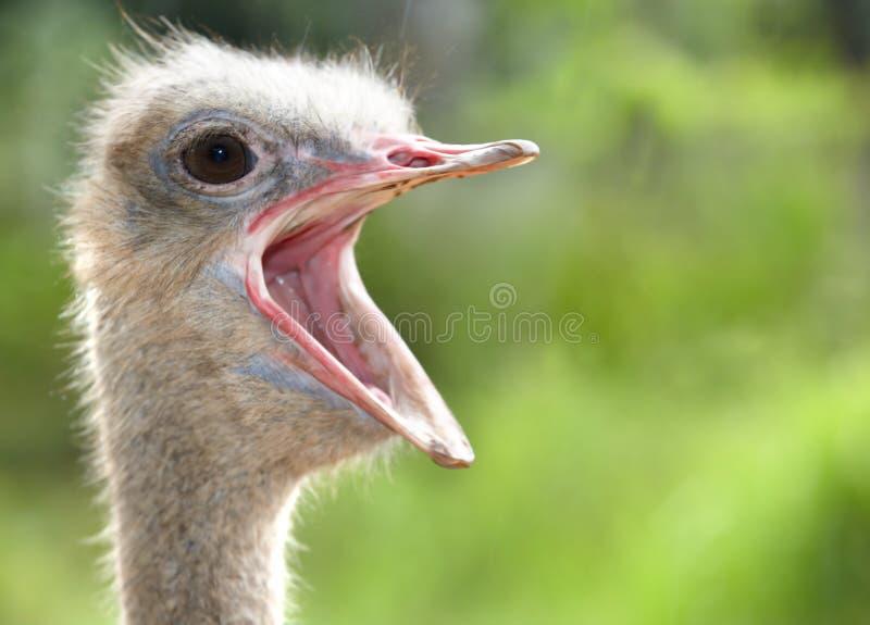 Tête d'autruche avec la bouche ouverte. image libre de droits
