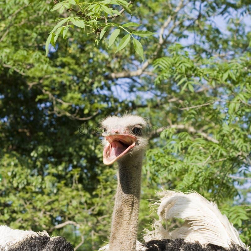 Tête d'autruche avec le bec ouvert photographie stock libre de droits