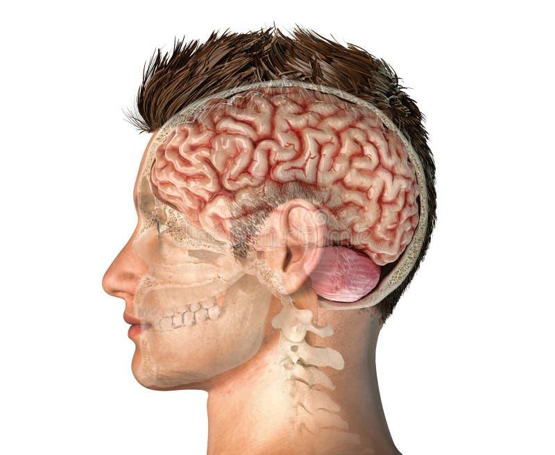 Tête d'homme avec la section transversale de crâne avec le cerveau illustration stock