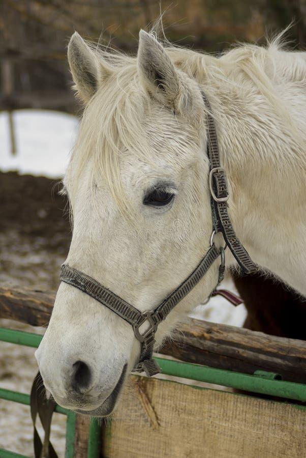 Tête d'un cheval blanc dans l'ahalter photo libre de droits