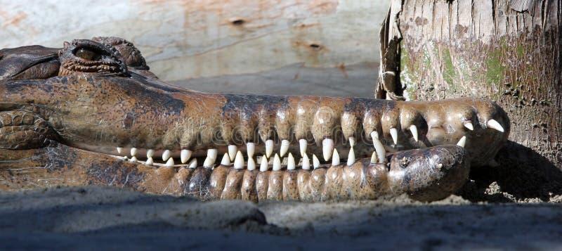 Tête d'un crocodile ou d'un alligator découvrant ses longues dents blanches images libres de droits