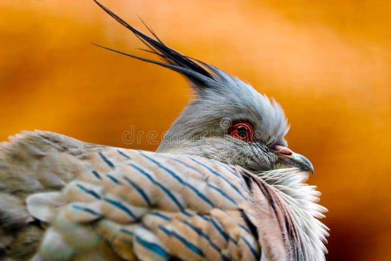 Tête d'un pigeon crêté soufflé dans la vue de profil image libre de droits