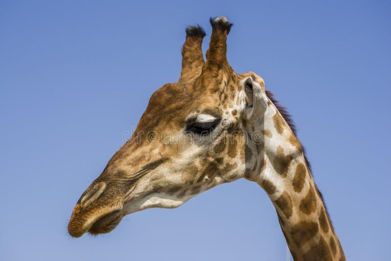 Tête d'un plan rapproché de girafe contre le ciel dans le zoo image libre de droits