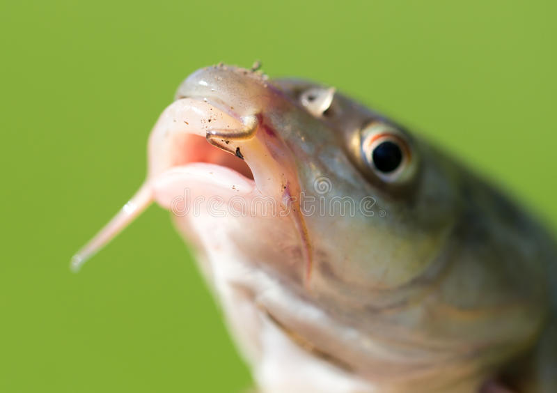 Tête d'un poisson avec une moustache photos stock
