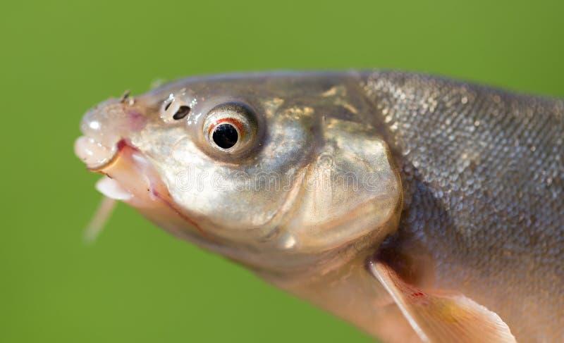 Tête d'un poisson avec une moustache images libres de droits