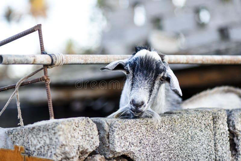 Tête d'une chèvre collant par derrière une barrière sur une basse cour photo stock