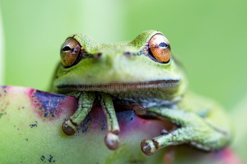 Tête d'une grenouille verte photos stock