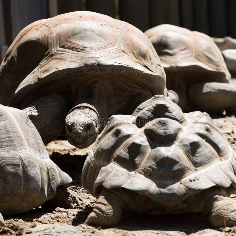 Tête d'une tortue géante d'Aldabra image libre de droits