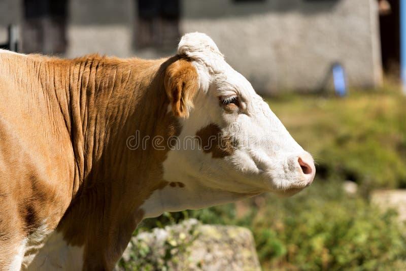 Tête d'une vache blanche et brune image stock