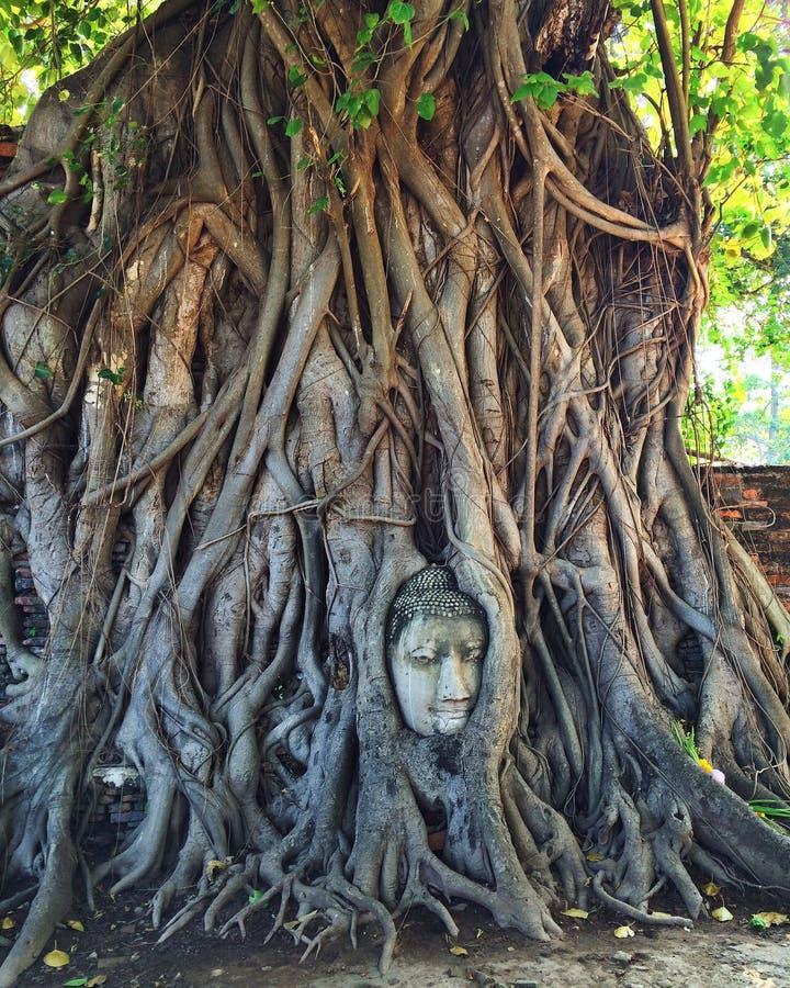 Tête de Bouddha dans des fonds d'arbre photographie stock libre de droits