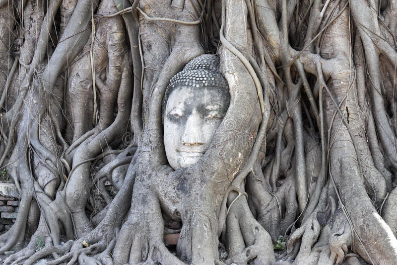 Tête de Bouddha dans l'arbre photos libres de droits