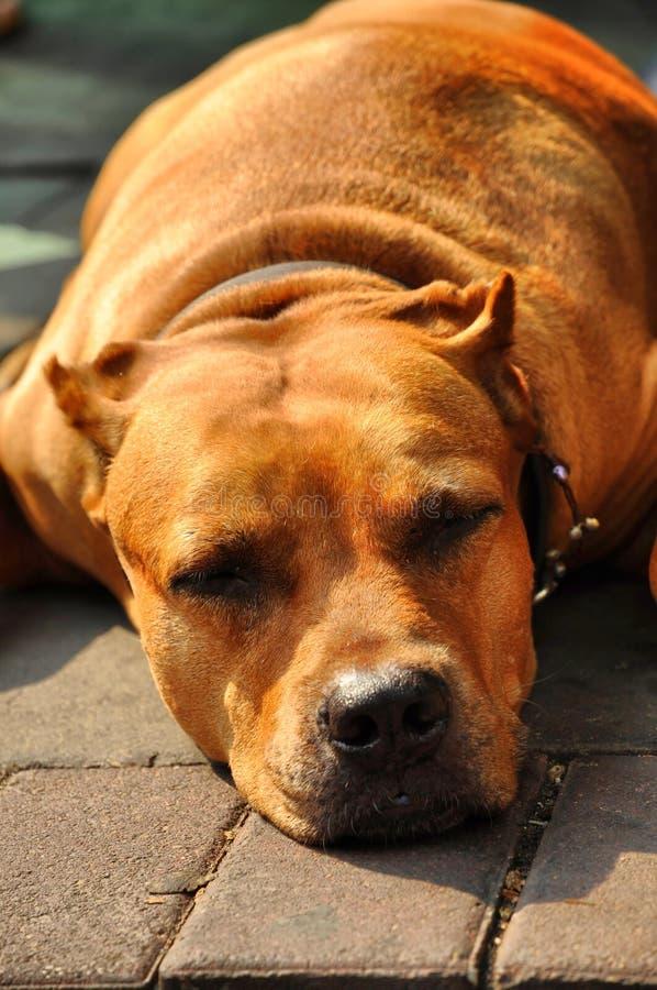 Tête de Brown d'effondrement de chien terrier de pitbull photographie stock libre de droits
