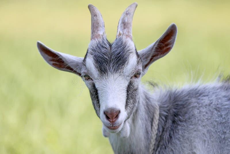 tête de chèvre photos libres de droits