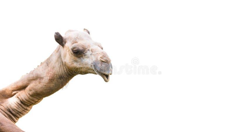Tête de chameau d'isolement images libres de droits