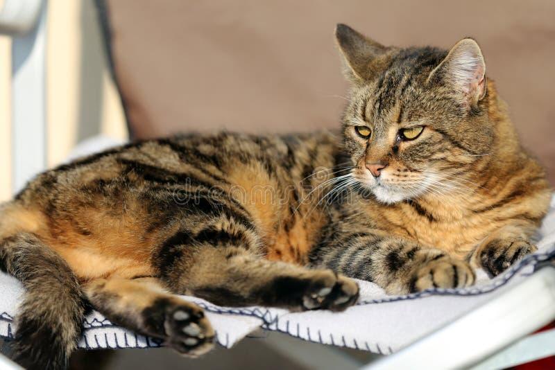 Tête de chat mignon gris adulte tigré Chat adulte de bel animal familier adorable domestique de plan rapproché image stock