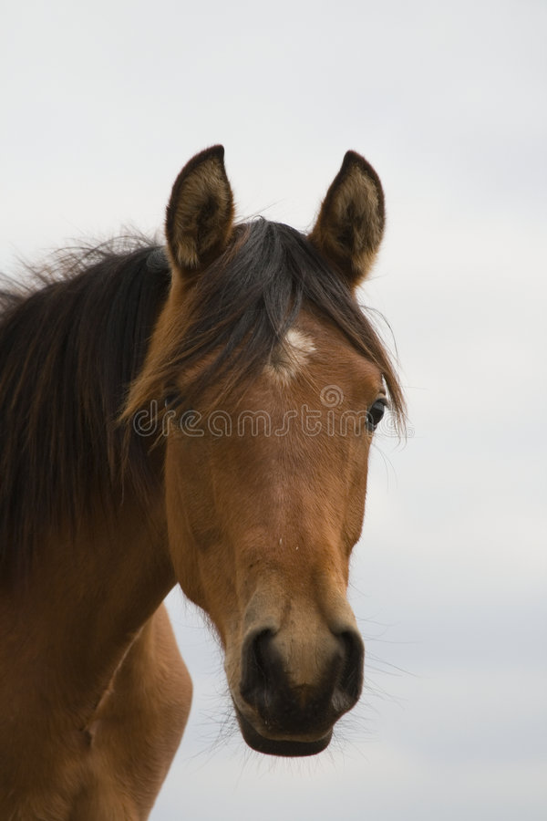 Tête de cheval photo libre de droits