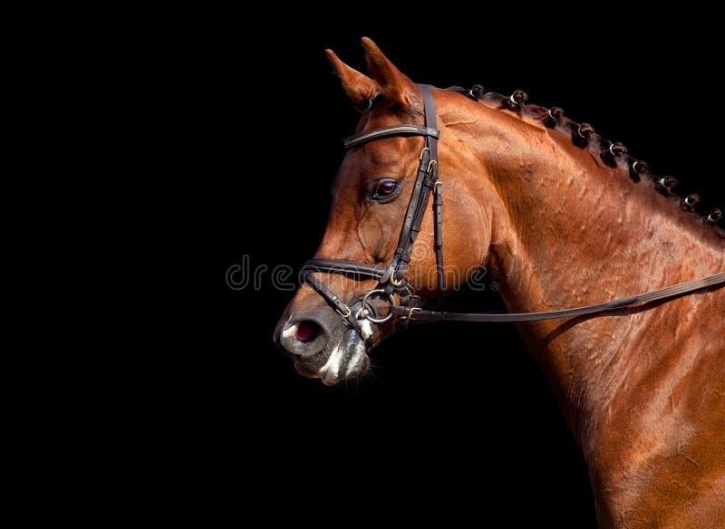 Tête de cheval de châtaigne d'isolement image stock