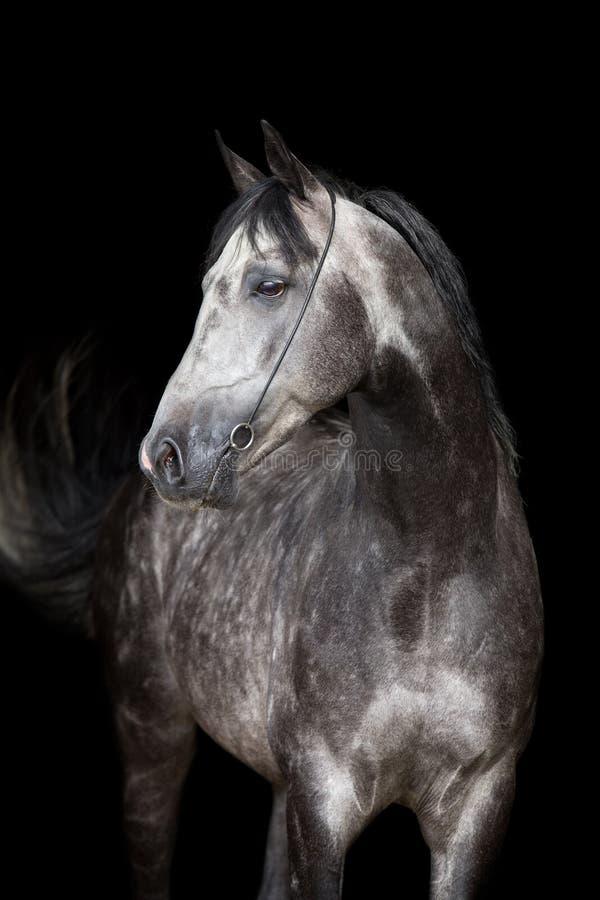 Tête de cheval grise sur le fond noir images stock