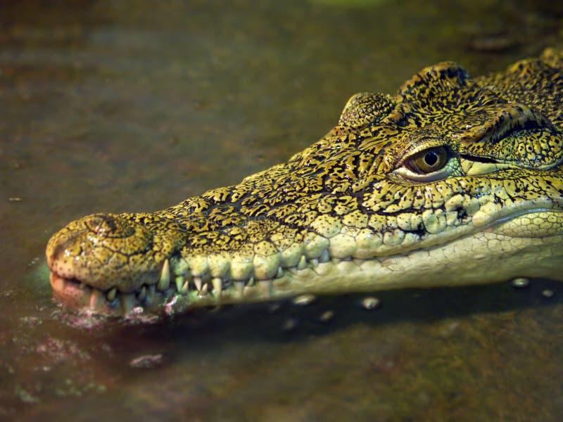 Tête de crocodile images libres de droits
