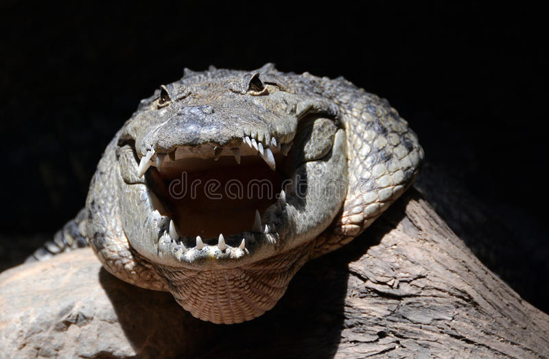 Tête de crocodile d'agresseur photo stock