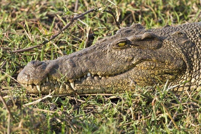 Tête de crocodile du Nil photo stock