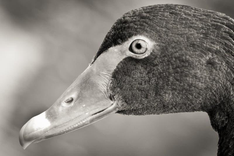 Tête de cygne en noir et blanc photo libre de droits