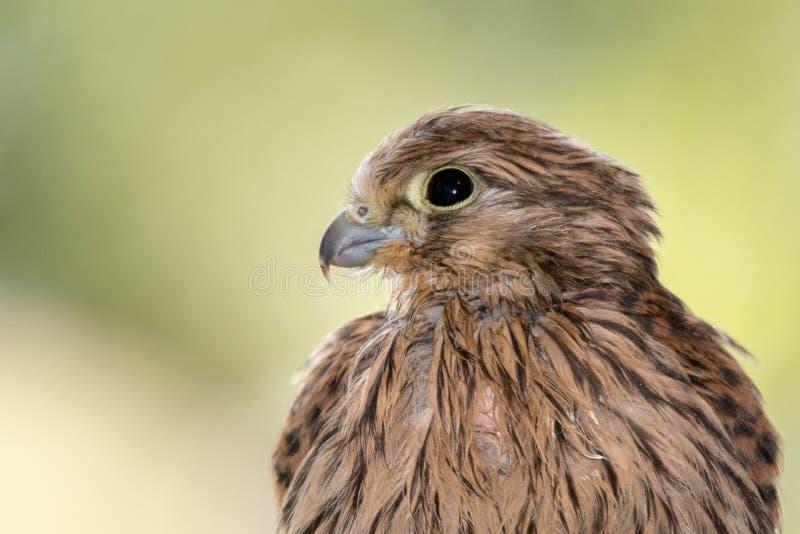 Tête de faucon photo libre de droits