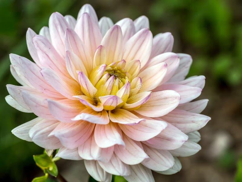 Tête de fleur blanche de dahlia image libre de droits