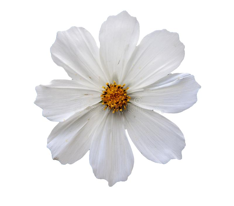 Tête de fleur d'isolement photos stock
