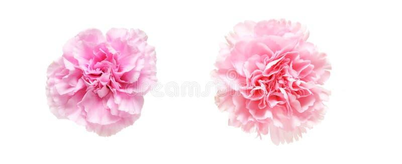 Download Tête de fleur d'oeillet image stock. Image du présent - 77160385