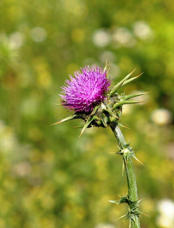Tête de fleur de chardon photos stock